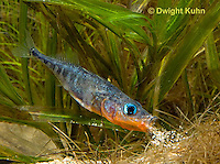 1S26-501z  Male Threespine Stickleback spitting sand onto nest,  Mating colors showing bright red belly and blue eyes,  Gasterosteus aculeatus,  Hotel Lake British Columbia