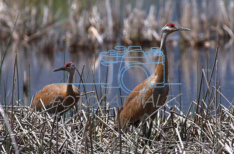 A pair of Sandhill cranes hang out in the marsh at Highway 88 and Centerville Lane on Monday, May 23, 2011, in Gardnerville, Nev. .Photo by Cathleen Allison