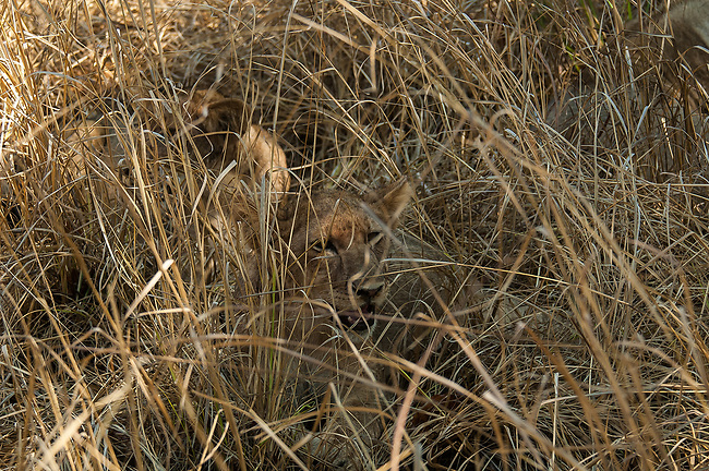 Lions in the Grass, South Luangwa Game Park