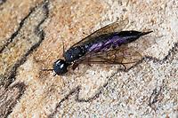 Erlen-Schwertwespe, Schwertwespe, Weibchen, Xiphydria camelus, Alder Wood-Wasp, Wood-Wasp, Woodwasp, female, Xiphydriidae, Schwertwespen