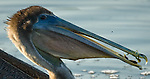 Brown Pelican with fish, Florida