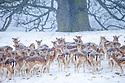 Fallow Deer heard (Dama dama) in heavy snow in front of beech tree. Chatsworth Park, Derbyshire, Peak Distict National Park. January.
