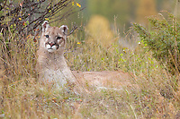 Mountain Lion lying in the grass - CA