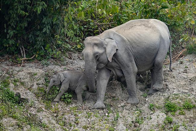 Indian elephant (Elephas maximus indicus). Kaziranga National Park, India.