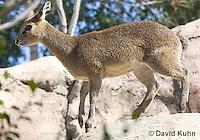 0604-1107  Klipspringer (Rock Jumper Antelope), Small Antelope on Boulders, Oreotragus oreotragus  © David Kuhn/Dwight Kuhn Photography