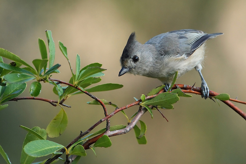 Black-crested Titmouse, early morning light.