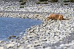 Female puma (Puma concolor) (southern subspecies Puma concolor puma) (in N. America, cougar or mountain lion) drinking from a mountain lake on private ranch land (Estancia Amarga) on the outskirts of Torres del Paine National Park, Patagonia, Chile.