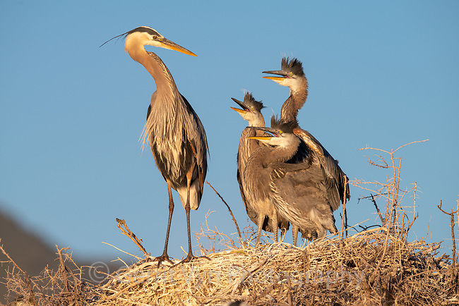 Great Blue Heron (Ardea herodias) adult at nest with begging chicks. Lake County, Oregon. June.