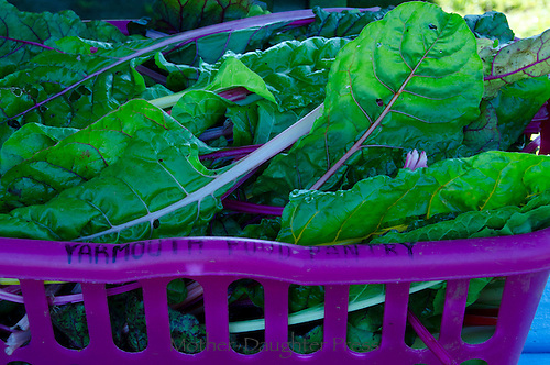 """""""Yarmouth Food Pantry"""" harvest of chard, Maine"""