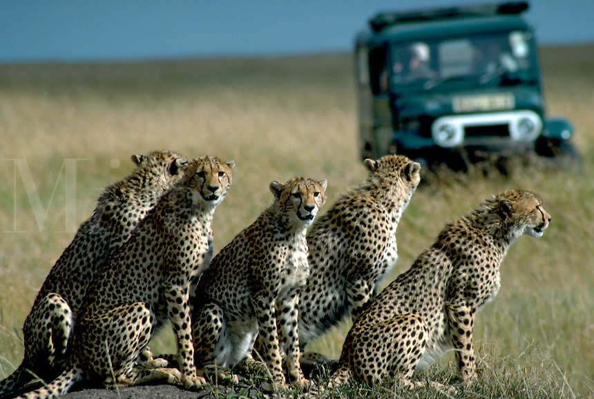 African, wild animal. A group of five adolescent cheetahs hang out together on the Masai Mara game reserve in Kenya as they are observed by tourists in a safari vehicle. This beautiful mammal is reported to achieve running speeds of up to 70 miles an hour