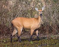 The marsh deer is South America's largest deer species.