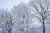 Winterwald, Bäume mit verschneiten Ästen, Eiche, Eichen, Winter, Schnee, Winterlandschaft, Winterstimmung, winterlich, eisig, kalt, Schleswig-Holstein, Deutschland, snow, oak, oaks, Quercus