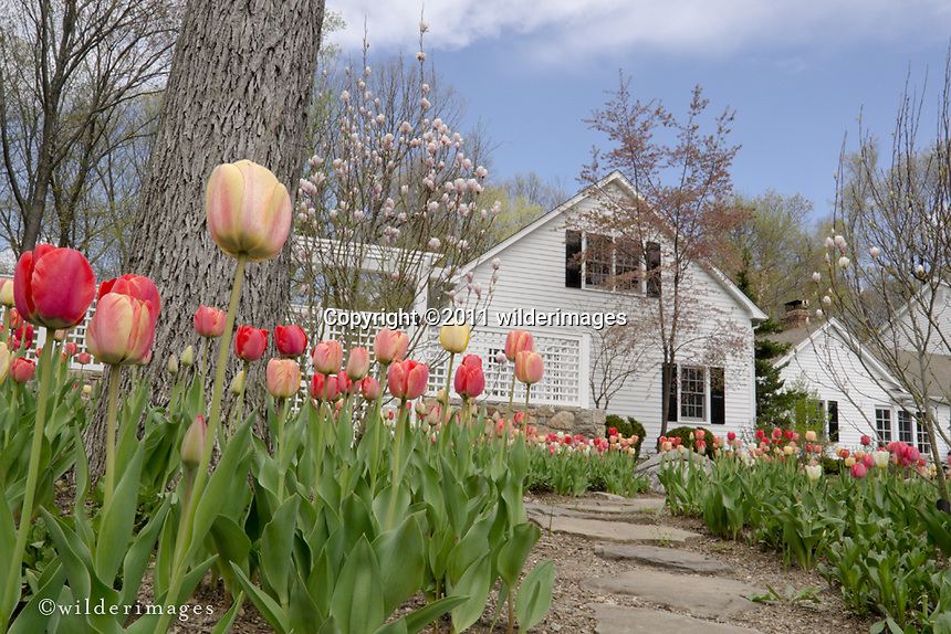 Robidoux Landscaping_Tulips