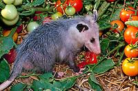 Opossum eating tomato in garden, summer midwest