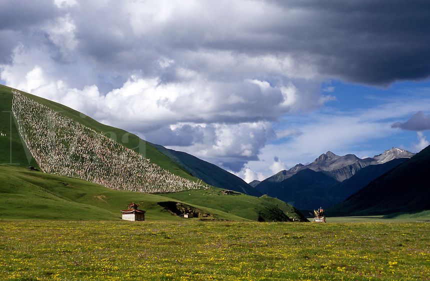 Field of wildflowers  (eidelweiss & gentian) and Prayer Flag field - Kham (E. Tibet), Sichuan Province, China