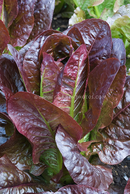 Red leaf lettuces Recoba growing, cos lettuce, romaine lettuce
