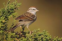 Chipping Sparrow, Spizella passerina, adult on Mountain Cedar (Juniperus ashei), Uvalde County, Hill Country, Texas, USA, April 2006