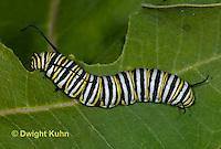 MO02-518z  Monarch Caterpillar on Milkweed - Danaus plexipuss
