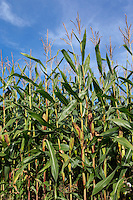 Forage maize grown for anaerobic digestion, image taken 2 to 3 weeks before harvest - Lincolnshire, September