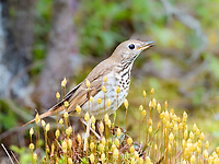 hermit thrush, Catharus guttatus, songbird, singing on log with moss, spring time, Nova Scotia, Canada
