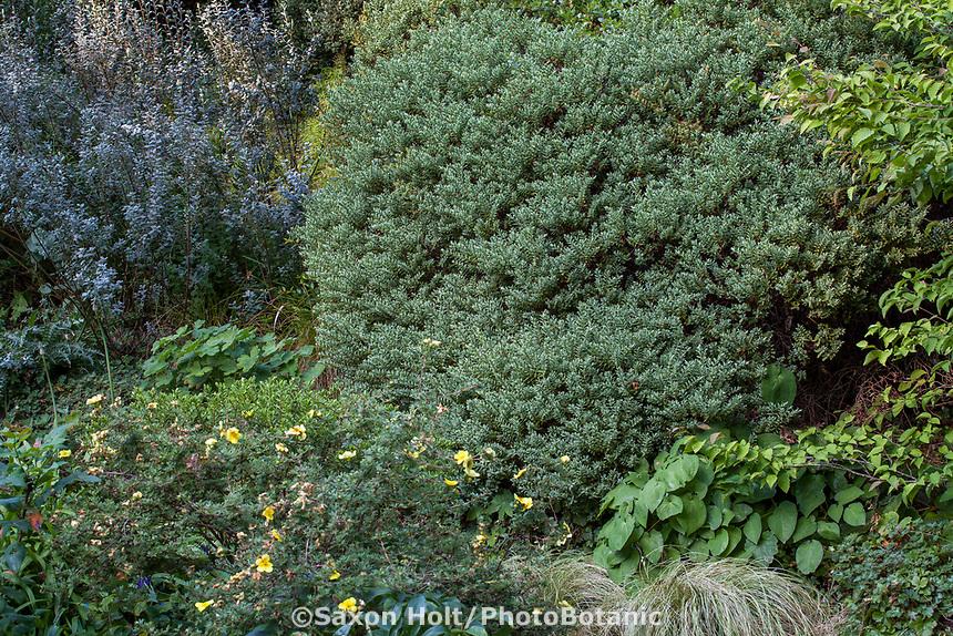 Gray foliage shrubs Veronica (Hebe) topiaria  with Salix repens var. argentea (Silvery Creeping Willow) to the left in Elisabeth Miller Botanical Garden