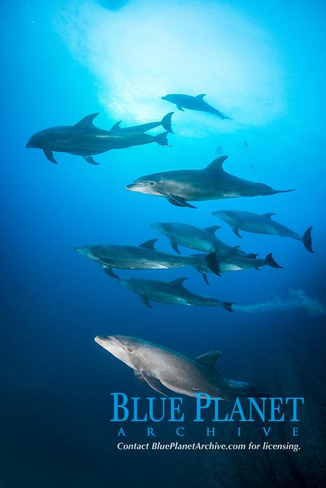 common bottlenose dolphin, Tursiops truncatus, pod, San Benedicto, Revillagigedo Islands, Mexico, Pacific Ocean