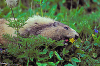 Hoary Marmot eating yellow arnica..Cascade Mountains, British Columbia..Canada. (Marmota caligata).