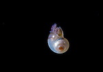Larval Snail, Plankton, Black Water diving; Pelagic marine life; planktonic creature; Off Riviera Beach; Fl; Gulfstream Current; South Atlantic Ocean.