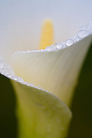 Close up of Calla Lily with dew drops. Oregon