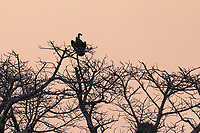 africa, Zambia, South Luangwa National Park,  vulture on the baobab top at the sunset