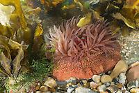 Erdbeer-Anemone, Erdbeeranemone, Gefleckte Erdbeerrose, Actinia fragacea, Actinia equina var. fragacea, strawberry anemone. Pferdeaktinie, Pferde-Aktinie, Aktinie, Purpurrose, Actinia equina, Seeanemone, See-Anemone, beadlet anemone, sea anemone, beadlet-anemone, sea-anemone, l'actinie rouge, tomate de mer, actinie chevaline, actinie commune, cubasseau, sea anemones, Blumentier, Blumentiere, Anthozoa
