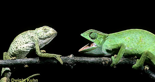 CH21-023z  African Chameleon - dominant green biting at recessive spotted, territorial confrontation  - Chameleo senegalensis