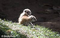 0329-1021  Meerkat Babies (Pups), Suricata suricatta  © David Kuhn/Dwight Kuhn Photography.