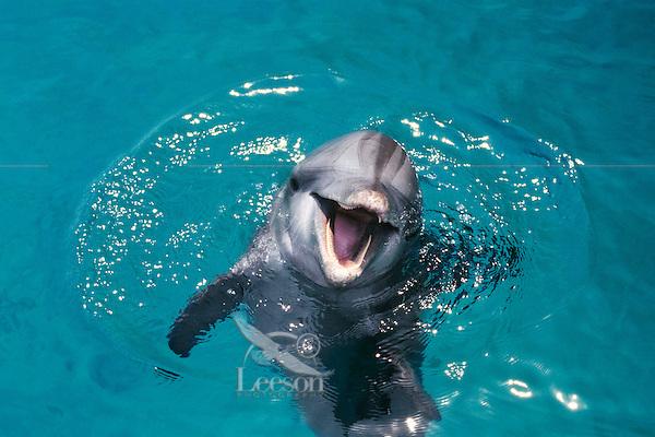 Common Bottlenose Dolphin or Bottle-nosed dolphin or Common Bottlenose Dolphin (Tursiops truncatus)