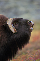 Muskox (Ovibos moschatus) smelling (flehmen behavior).