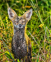 Very Wet Red Fox Kit crouched in weeds