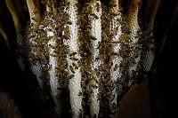 In the warmth of the wax nest, the bees build the wax combs and the cells for storing the honey and raising the brood.<br /> Dans la chaleur du nid de cire, les abeilles construisent les rayons de cire et les cellules pour le stockage du miel et l'élevage du couvain.