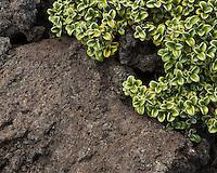 Volcanic rock and alpine vegetation, Tongariro National Park, Central Plateau, Ruapehu Region, North Island, UNESCO World Heritage Area, New Zealand, NZ