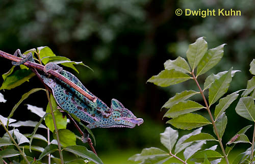 CH38-507z Female Veiled Chameleon tongue flicking to catch insect prey, Chamaeleo calyptratus, for sequence see CH38-508z
