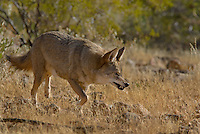 Coyote (Canis latrans) in Southwestern desert.  It is giving a warning growl towards another coyote.