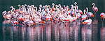Chilean flamingo (Phoenicopterus chilensis), Patagonia, Chile. IUCN Redlist status: Near Threatened