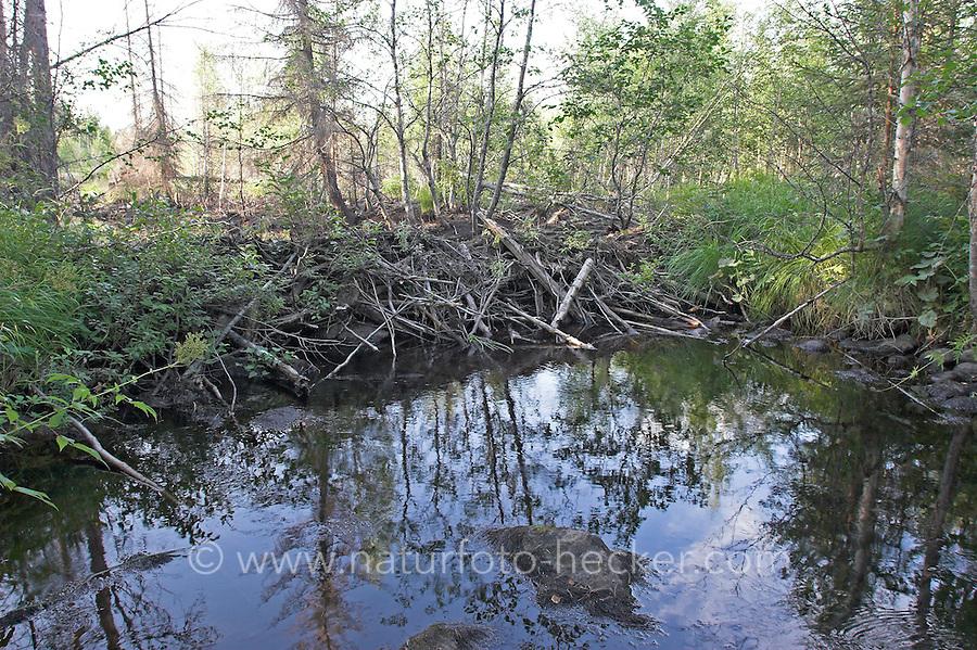 Biberdamm, Biber hat mit Ästen, Zweigen und Schlamm einen Bach aufgestaut, Damm, Europäischer Biber, Castor fiber, European beaver, Castor d´Europe
