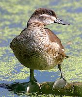 Juvenile ruddy duck