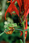 A frog grasps onto a branch, Tambopata River region, Peru