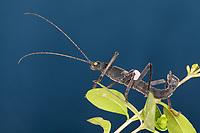 Samtschrecke, Peruanische Samtschrecke, Männchen, Samtstabschrecke, Rotgeflügelte Samtschrecke, Peru-Stabschrecke, Schwarze Pfefferschrecke, Peruanische Pfefferschrecke, Samtschrecken, Peruphasma schultei, Peruphasma schulteii, Golden-Eyed Stick Insect, stick insect, male