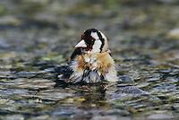 European Goldfinch, Carduelis carduelis, adult bathing, Scrivia River, Italy, Europe