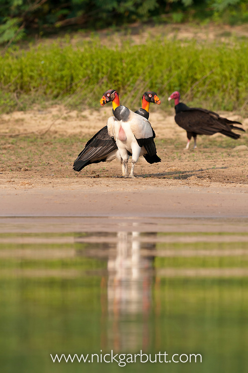Female King Vulture (Sarcoramphus papa) with offspring approaching maturity (Family Cathartidae). With Turkey Vulture (Cathartes aura) in background. Sand bar on the banks of the Piquiri River, Pantanal, Brasil.