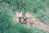 Young Red Fox pups on a spring day in Montana.