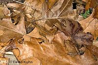 0302-0930  Camouflaged Spring Peeper Frog on Leaf Litter, Pseudacris crucifer (formerly: Hyla crucifer)  © David Kuhn/Dwight Kuhn Photography