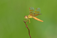 304570012c a wild female mexican amberwing dragonfly perithemis intensa perches on a small plant stem on pintail slough in havasu national wildlife refuge mojave county arizona united states